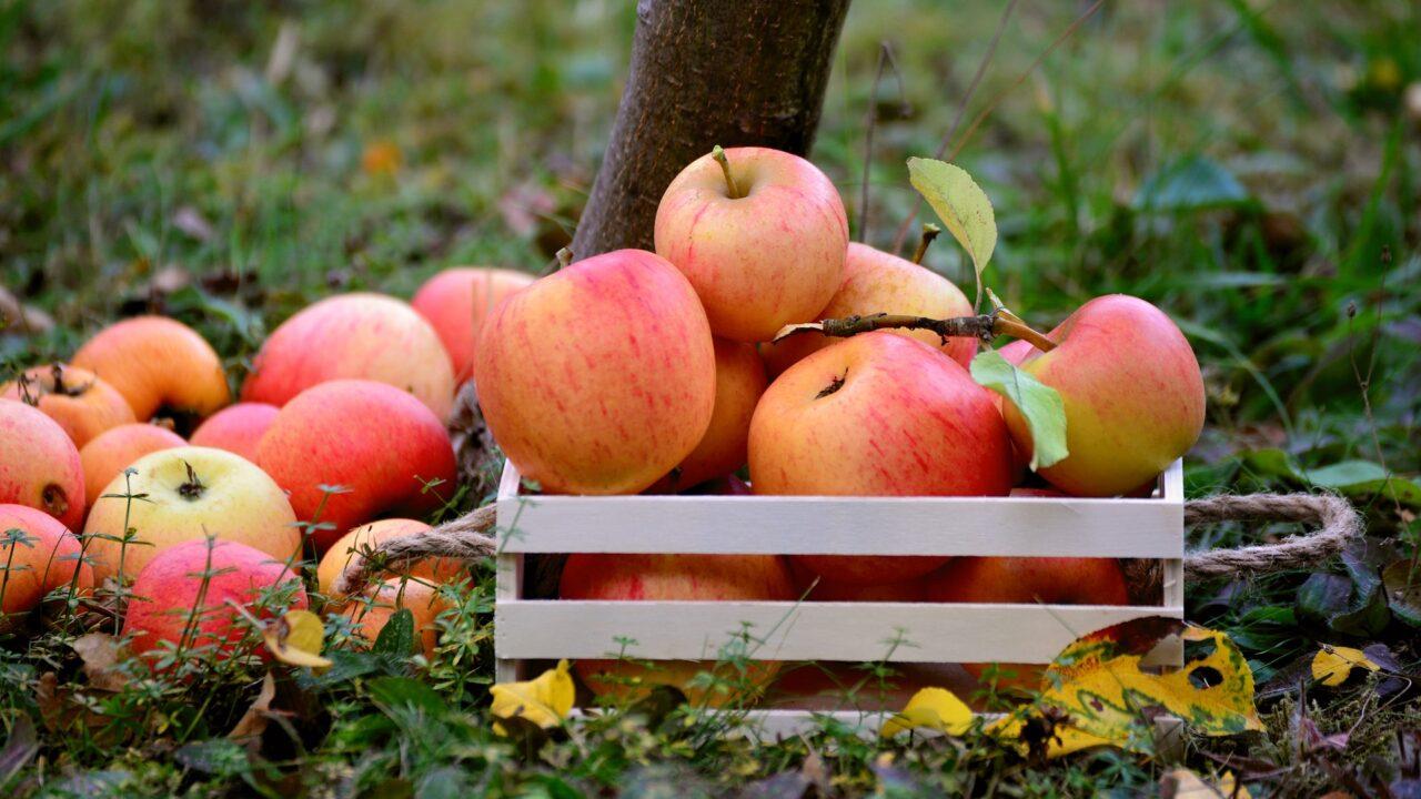 Apfel Selber Pflücken